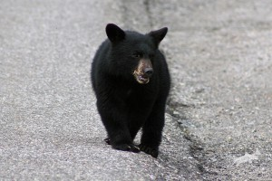 black_bear_maligne